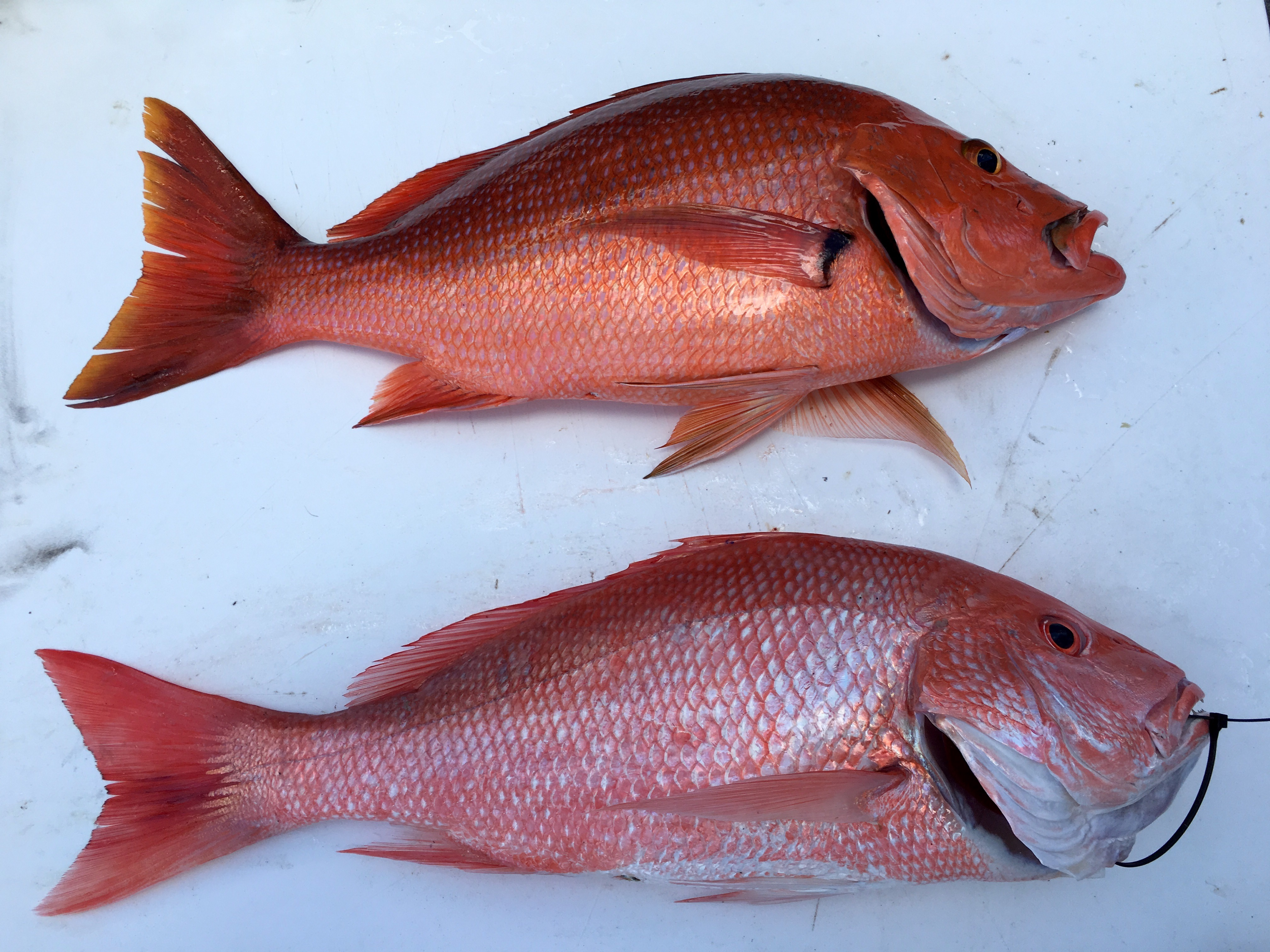Red Snapper Look-a-Like – Everyday Biologist
